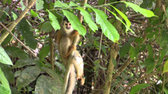 P03296 Squirrel Monkey in Jungle Stock Footage
