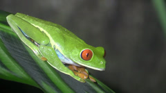 P03260 Red-eyed Tree Frog at Night in Costa Rica Stock Footage