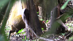 P03284 Agouti in Central America Jungle Stock Footage