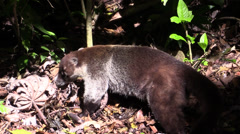 P03285 Coati Foraging in Jungle in Costa Rica Stock Footage