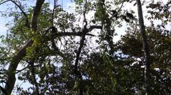 P03298 Squirrel Monkeys in Treetops in Jungle Stock Footage