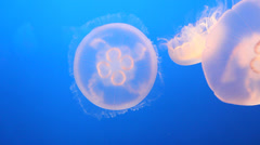 moon jelly swimming - stock footage