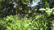 Stock Video Footage of P03294 Jungle Vegetation and Habitat in Costa Rica