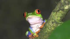 P03259 Red-eyed Tree Frog in Costa Rica Stock Footage