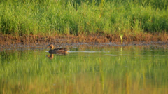 Mallard swims in the pond near the shore - stock footage
