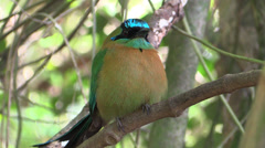 P03281 Blue Motmot Bird in Costa Rica Jungle Stock Footage