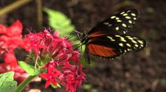 P03256 Longwing Butterfly Feeding on Flower in Costa Rica Stock Footage