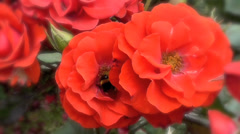 Bumblebee on Red Roses Stock Footage