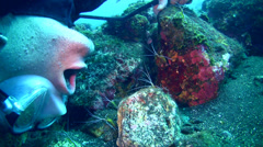 White-banded cleaner shrimp (Lysmata amboinensis) cleaning diver's mouth Stock Footage