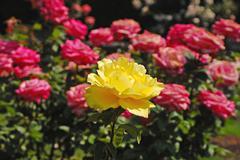 single yellow rose - stock photo