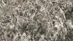 Volcanic Ash Coated Dying Tomato Plants Stock Footage