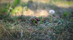 Dandelion closeup in wind Stock Footage