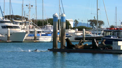 Sea lions lounge and honk on a dock in Santa Barbara Harbor. Stock Footage