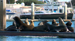 Sea lions lounge, splash, and honk on a dock in Santa Barbara Harbor. Stock Footage
