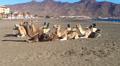 Dromedaries on the Fuerteventura beach Footage