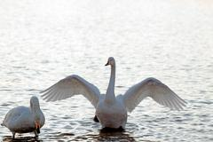 Two whooper swans in a pond Stock Photos