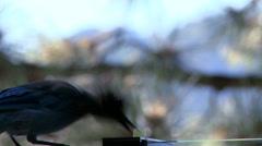 A Steller's Jay steals a grape off a window sill and flies away. Stock Footage
