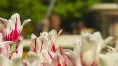 Tulips - white Stock Footage