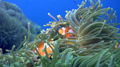 False clown anemonefish or nemo (Amphiprion ocellaris) Stock Footage