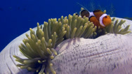 Stock Video Footage of False clown anemonefish or nemo (Amphiprion ocellaris) on closed anemone