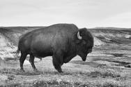 Stock Photo of american bison in the yellowstone national park