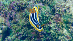 Chromodoris quadricolor Stock Footage