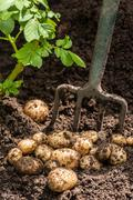 Potato crop Stock Photos