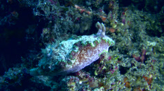 Glossodoris cincta Stock Footage