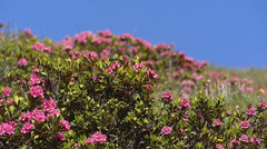 Rhododendron ferrugineum, snow-rose in bloom - low angle Stock Footage