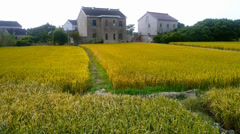 Stock Video Footage of china village,Asian golden rice paddy,wait for the harvest.