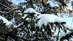 Snow in fir pine tree Stock Footage