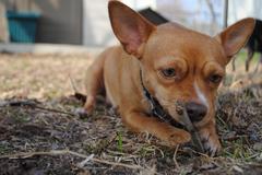 Chihuahua Playing Fetch - stock photo