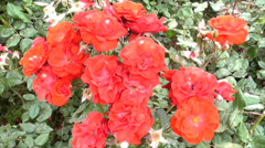 Red Wild Roses - stock footage