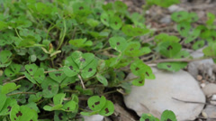 Clovers in the wind Stock Footage