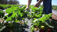 Picking Strawberries at a farm - stock footage