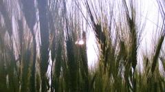 Field of green wheat. Stock Footage