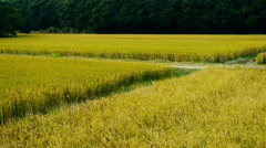 Asian golden rice paddy,wait for the harvest. Stock Footage