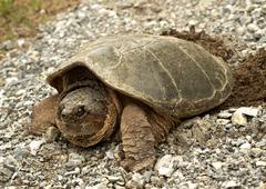 Turtle laying eggs Stock Photos