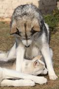 Alaskan malamute parent with puppy Stock Photos