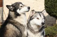 Stock Photo of gorgeous alaskan malamutes in the garden