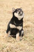Beautiful puppy of shiba inu Stock Photos