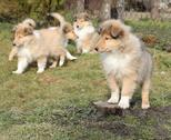 Stock Photo of gorgeous scotch collie puppies