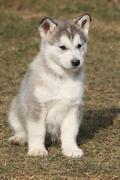 puppy of alaskan malamute in spring - stock photo