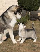 alaskan malamute parent with puppy - stock photo