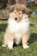 adorable puppy of scotch collie sitting in the garden - stock photo
