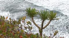 Dracaena, dragon tree on the coast of Tenerife Stock Footage