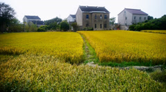 China village,Asian golden rice paddy,wait for the harvest. Stock Footage