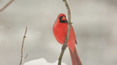 Stock Video Footage of Cardinal in the snow