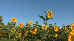 sunflower field with blue sky - stock footage