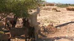 Goats and sheep eat vegetation in the dry deserts of the Holy land. - stock footage